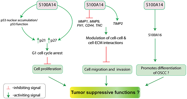 Schematic illustration for the putative tumor suppressive functions (inhibition of cell proliferation, migration and invasion; promotion of differentiation?) of S100A14 in oral cancer.