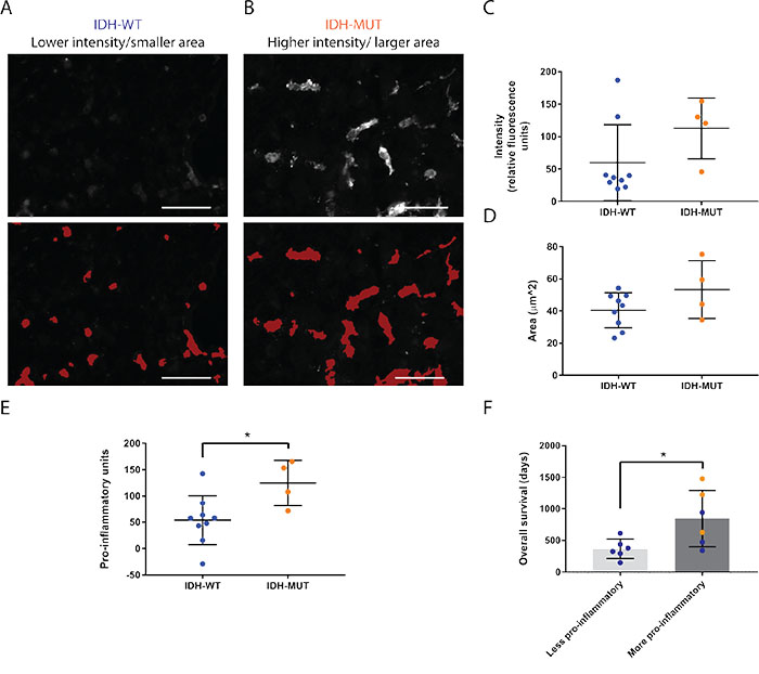 Microglia and macrophages are more pro-inflammatory in IDH-MUT compared to IDH-WT GBMs.