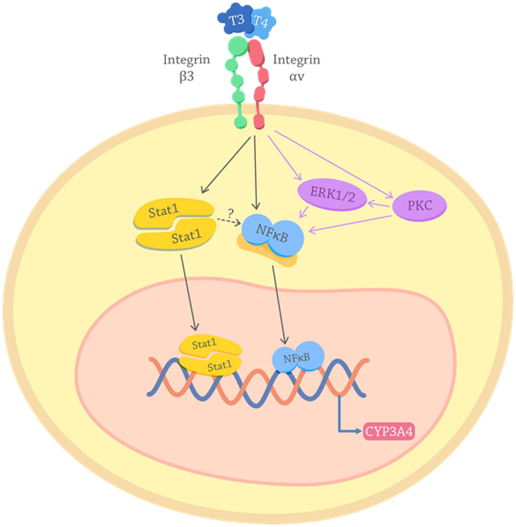 Proposed mechanisms for the effects of thyroid hormones on the CYP3A4 expression.