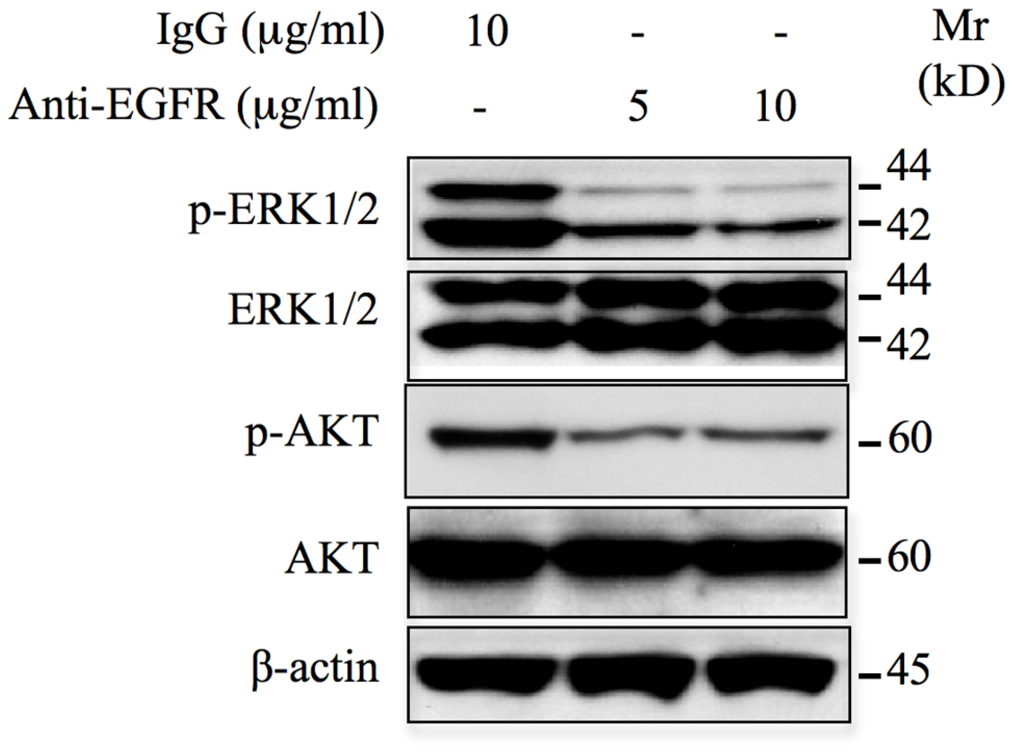 Monoclonal anti-EGFR neutralizing antibodies inhibit ERK1/2 and AKT signaling pathways.