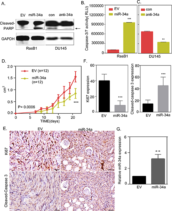 miR-34a overexpression contributes to the induction of apoptosis in Ras-activated prostate cancer cells.