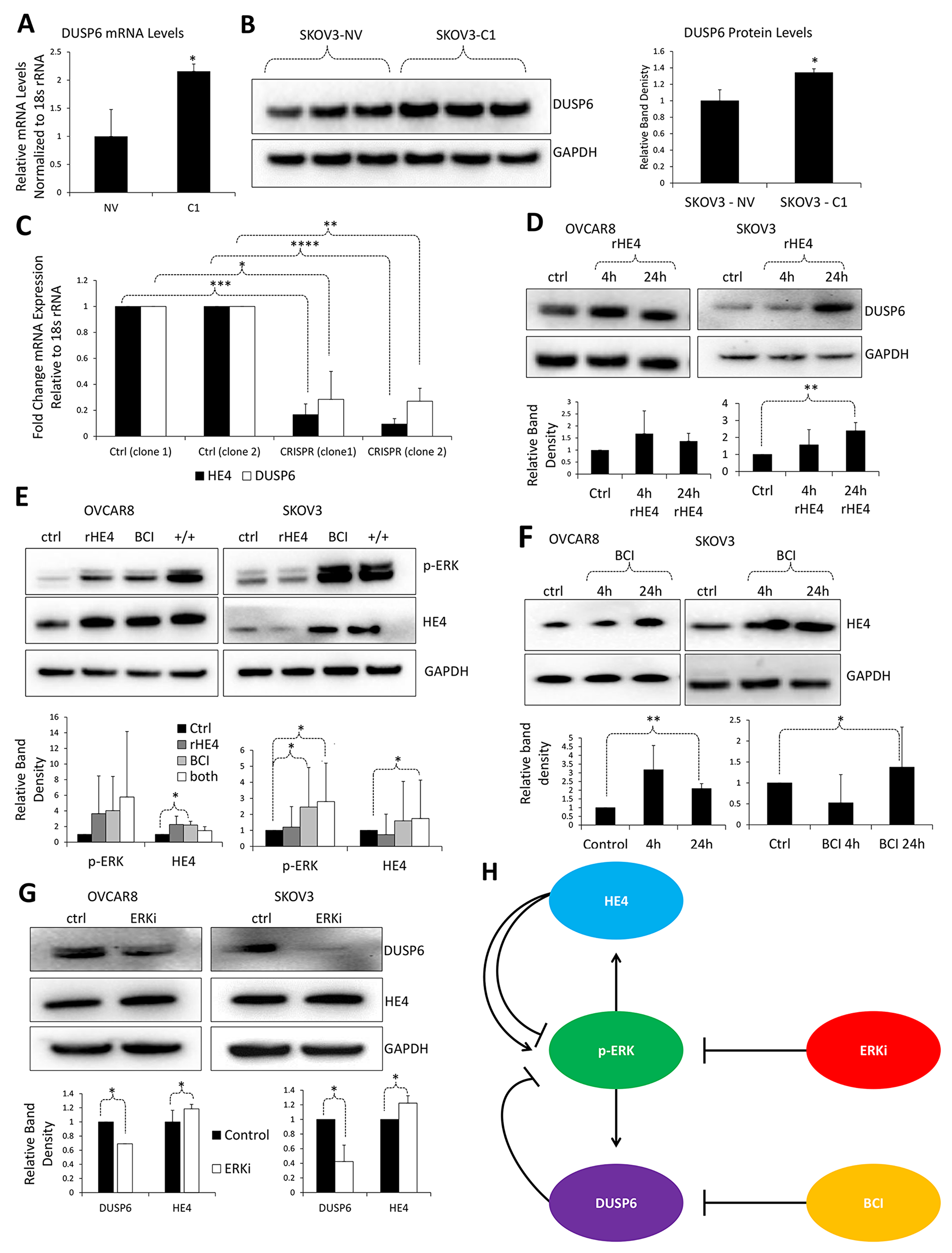 HE4 regulates DUSP6 levels in ovarian cancer cells