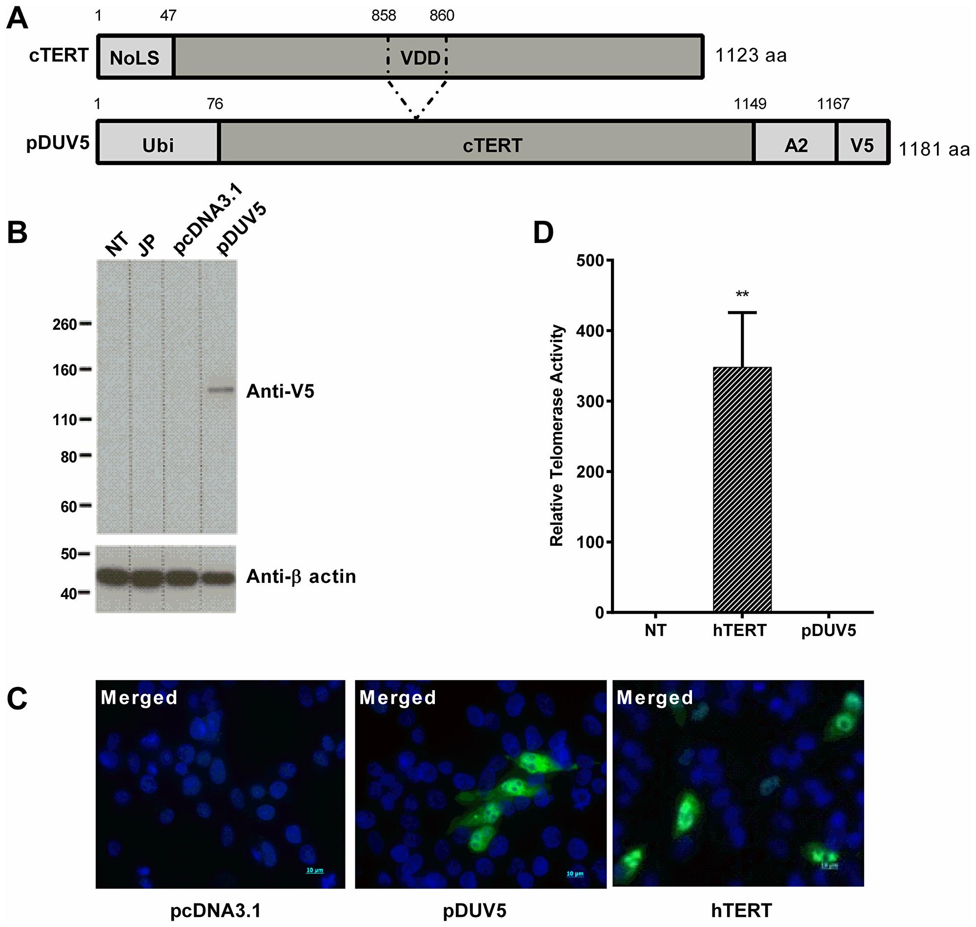 In vitro characterization of pDUV5 protein.