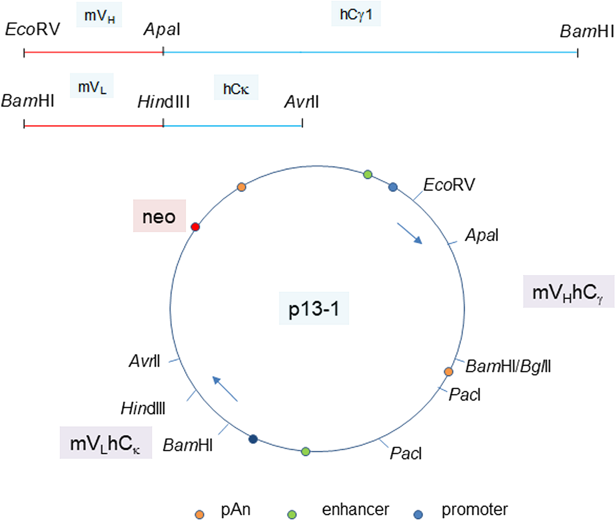 Plasmid vector for P3A5 H and L chain expression.