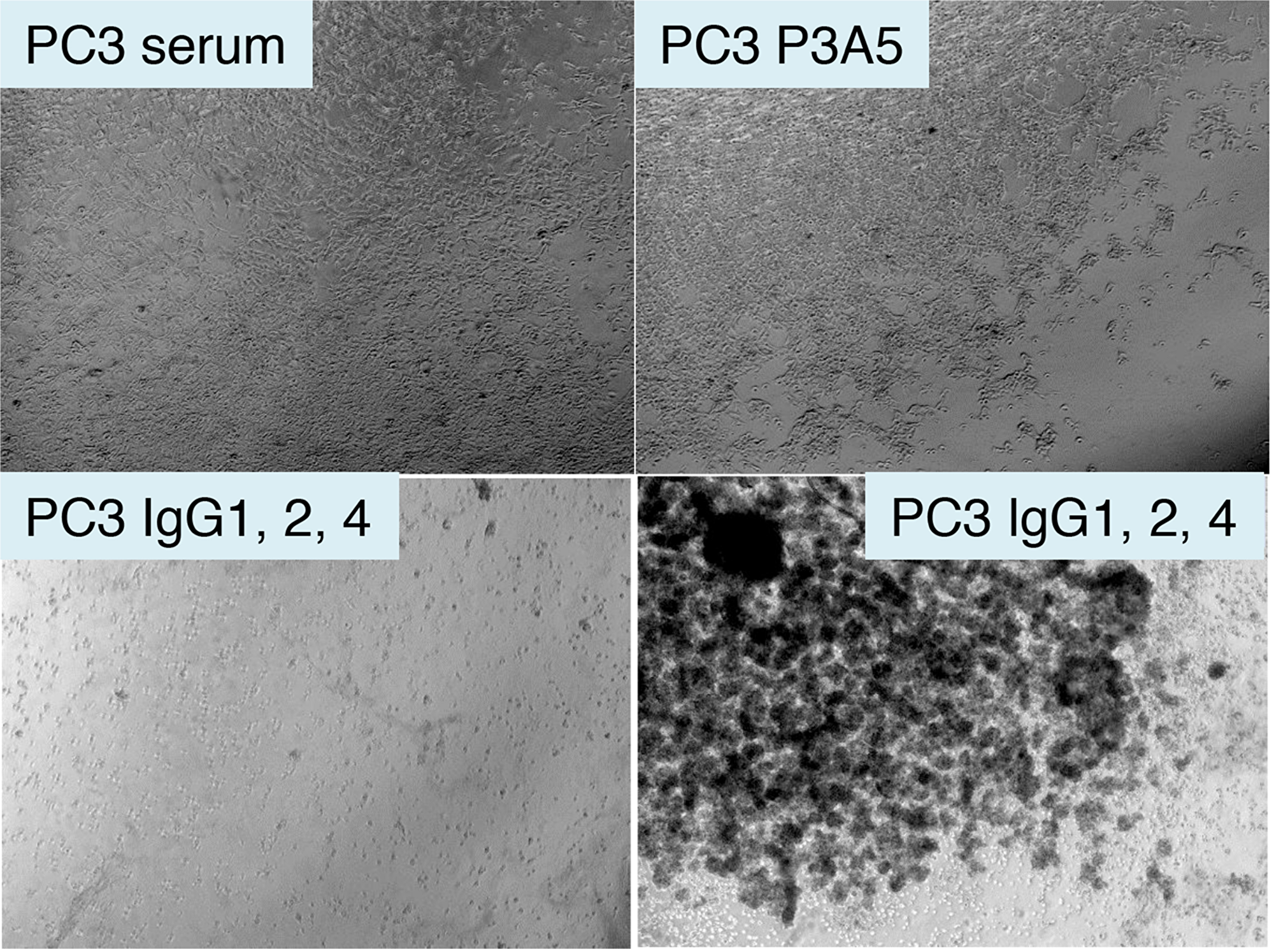 Treatment of AGR2+ PC3 cells by chimeric antibodies.