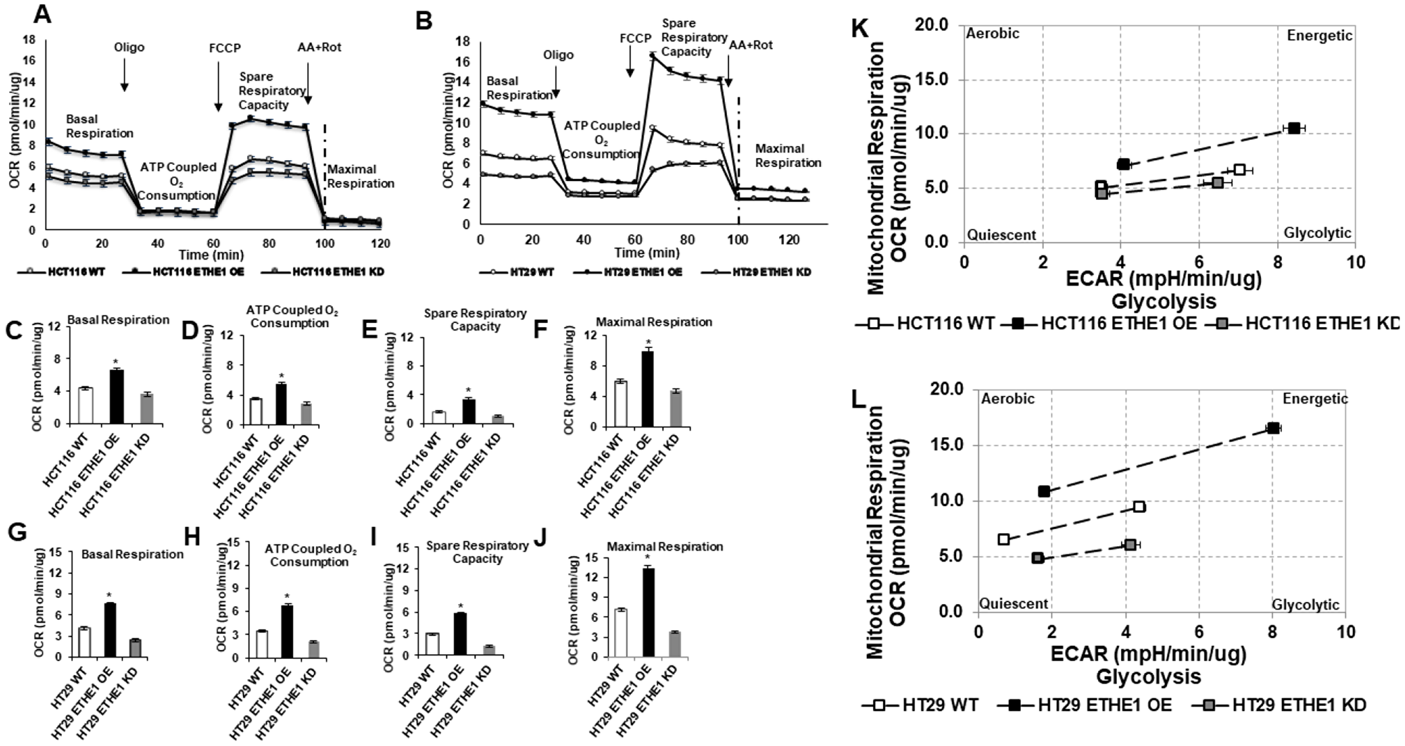 Overexpression of ETHE1 enhances CRC mitochondrial respiration.