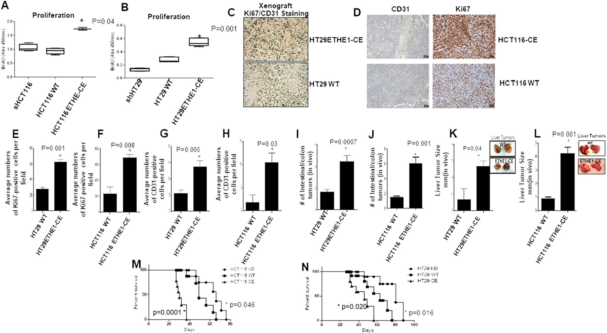 ETHE1 stimulates CRC tumorgenicity in vivo.