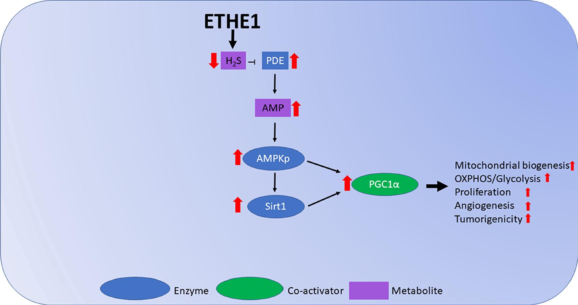 Model figure of ETHE1 roles in FAP.