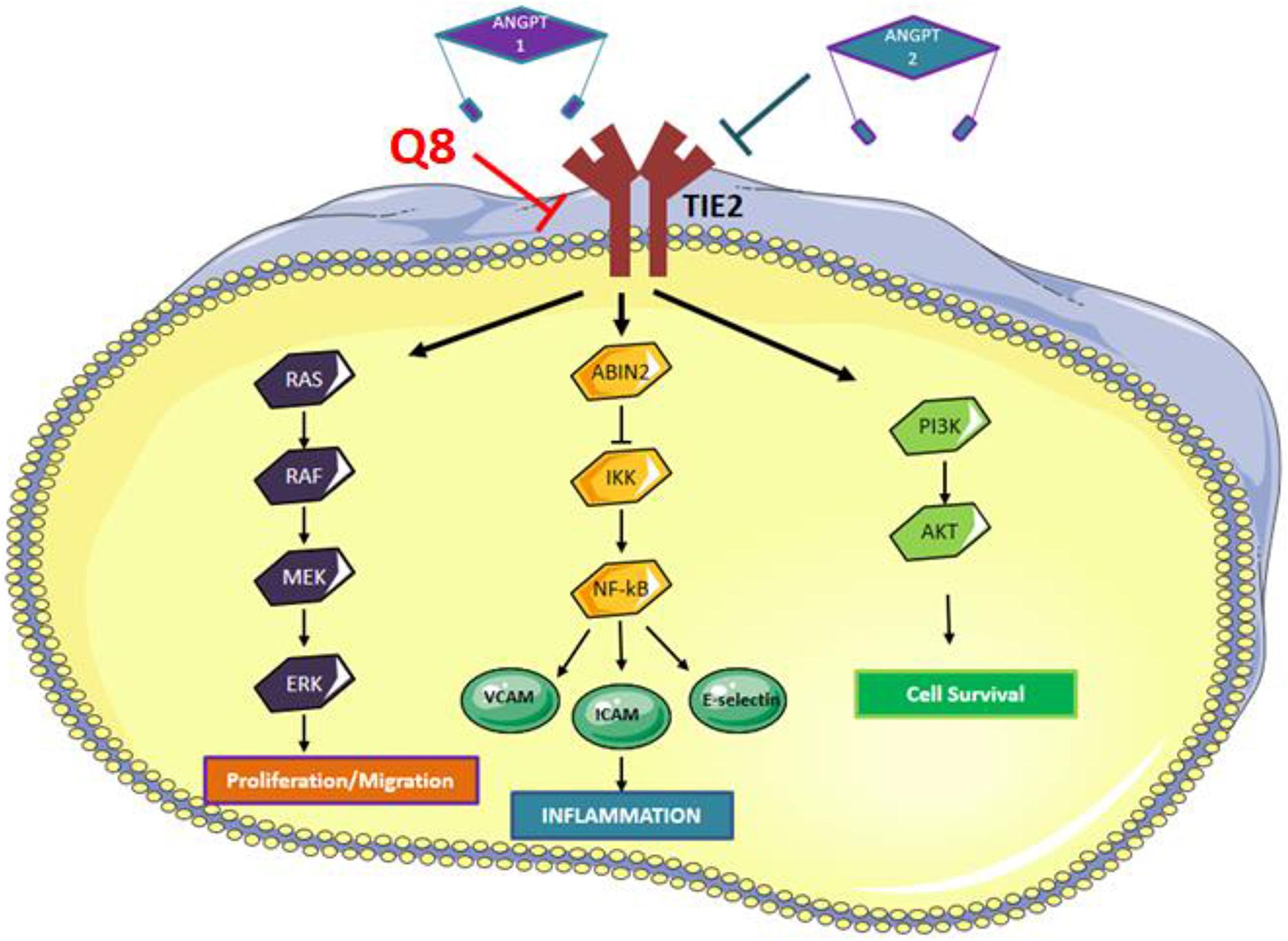 Angiopoietin-TIE signaling pathway.