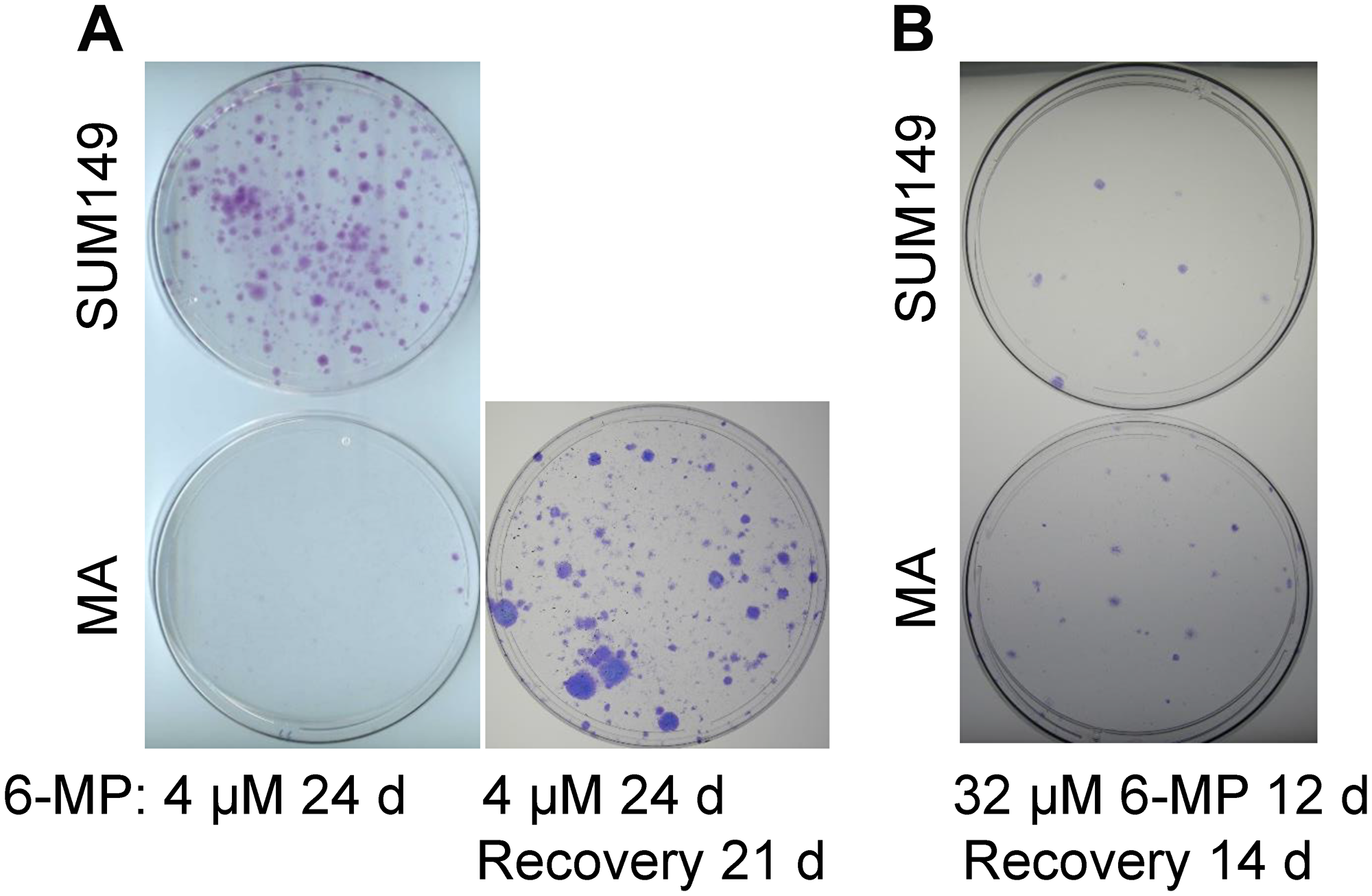 Differential effects of low-dose versus high-dose 6-MP on MA cells.