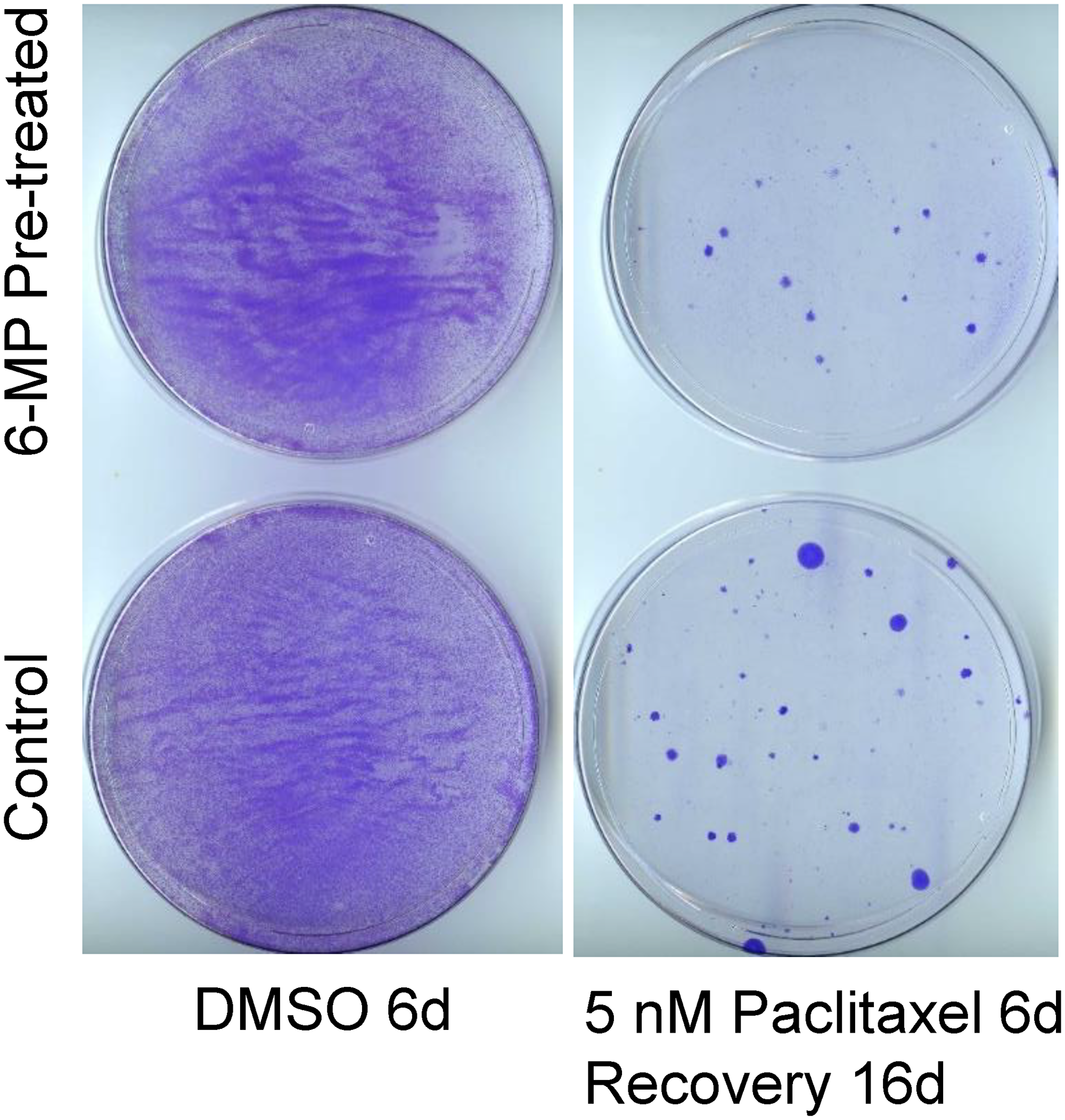 Oncotarget | Evaluation of 6-mercaptopurine in a cell culture model