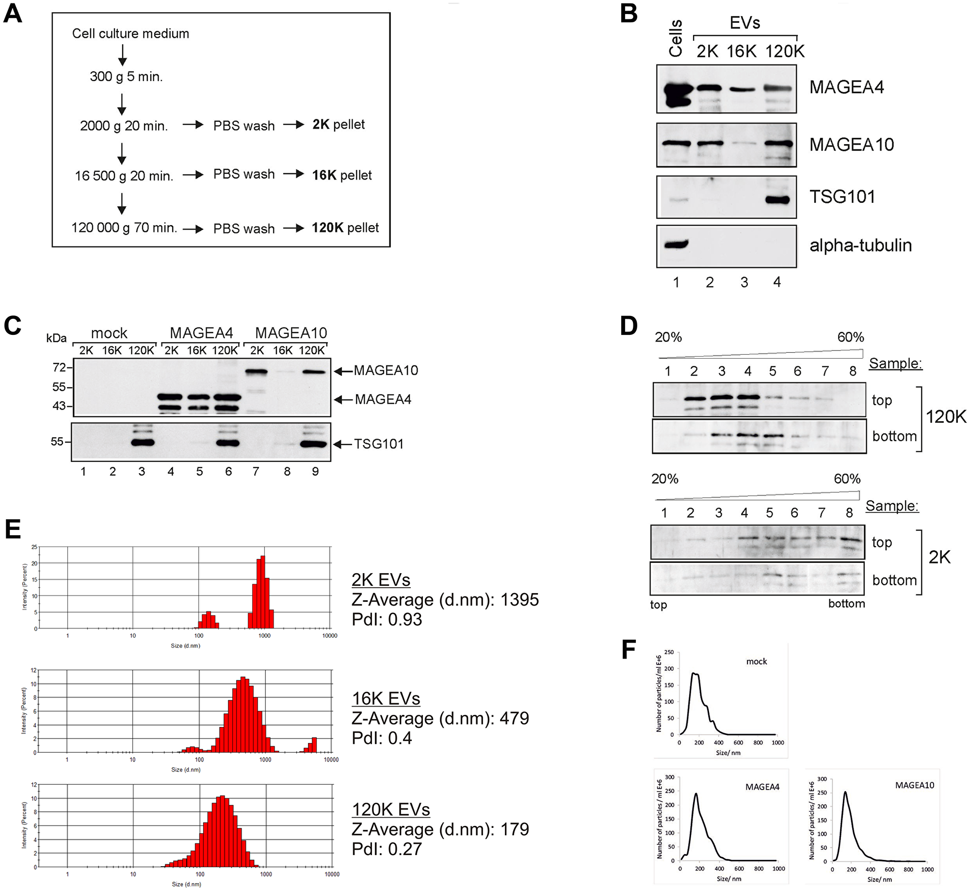 Oncotarget | Cancer-testis antigens MAGEA proteins are