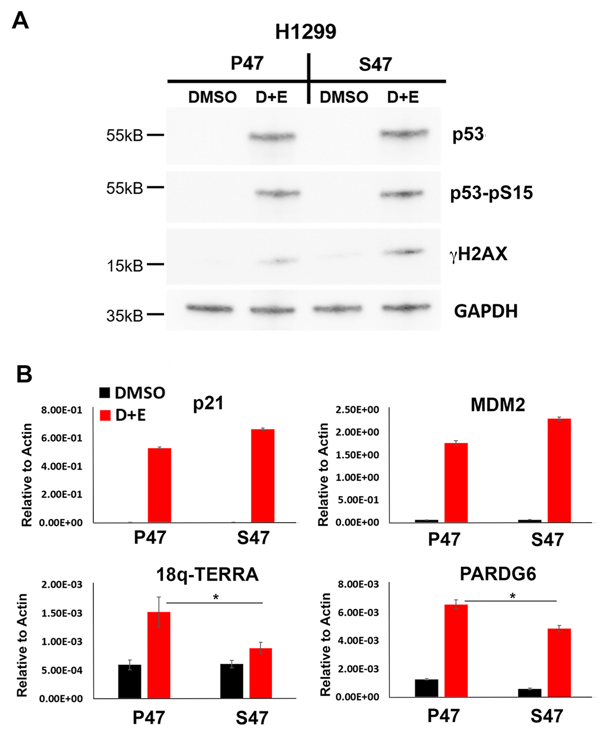 Human p53 S47 is deficient for DNA damage-induced activation of TERRA transcription.