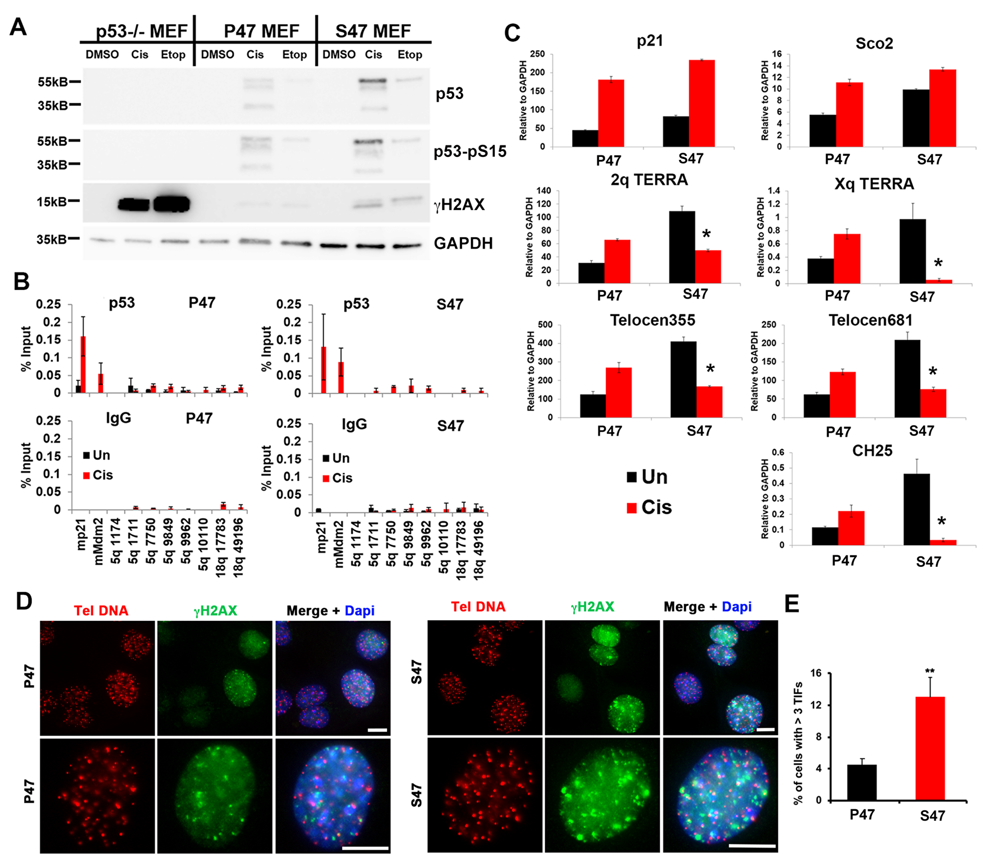 MEFs reconstituted with human p53 S47 fail to induce mouse TERRA in response to DNA damage stress.