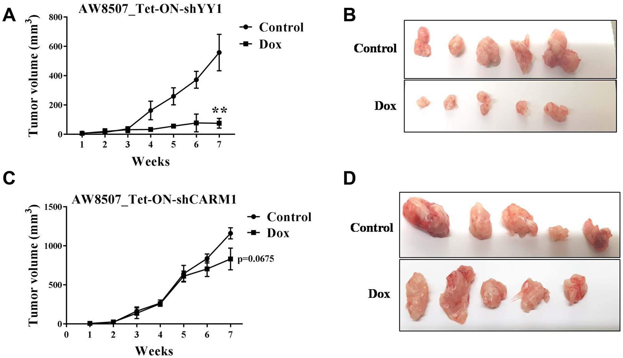 Xenograft study in nude mice with inducible silencing of YY1 and CARM1 in oral cancer cells.