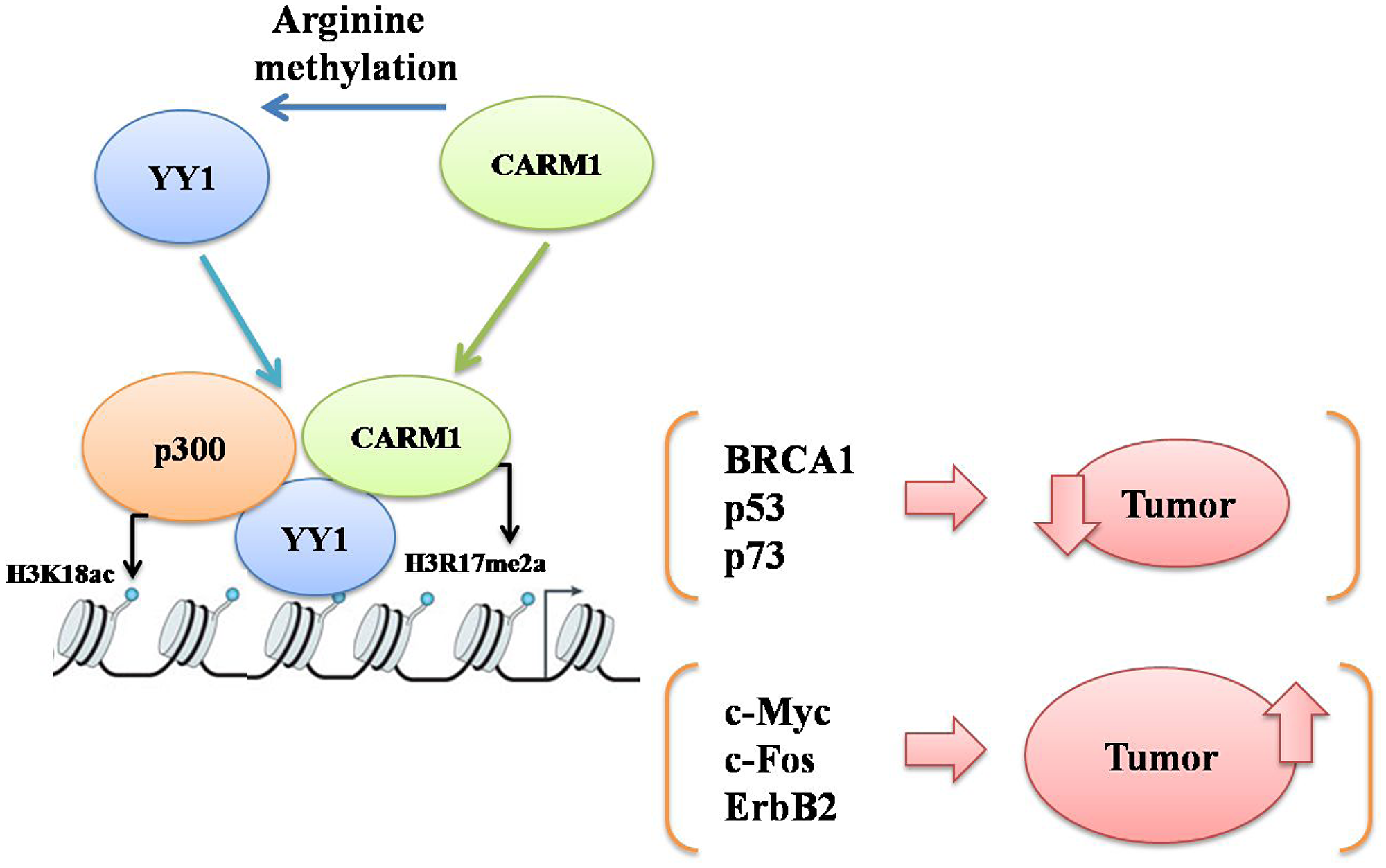 A schematic to explain probable mechanisms of cooperative action between YY1 and CARM1 either to suppress or promote carcinogenesis by upregulating either YY1 responsive tumor suppressor genes (such as BRCA1, p53 and p73) or YY1 responsive oncogenes (such as c-Myc, c-Fos and Erb B2) respectively in a context dependent manner.