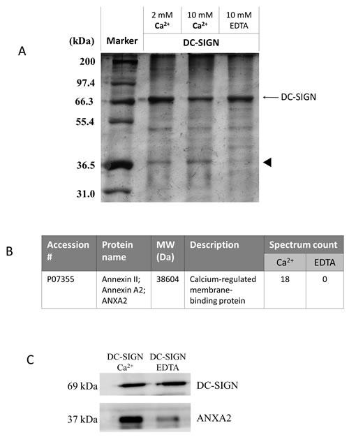 Immunoprecipitation of DC-SIGN-binding proteins on NPC cell membranes.