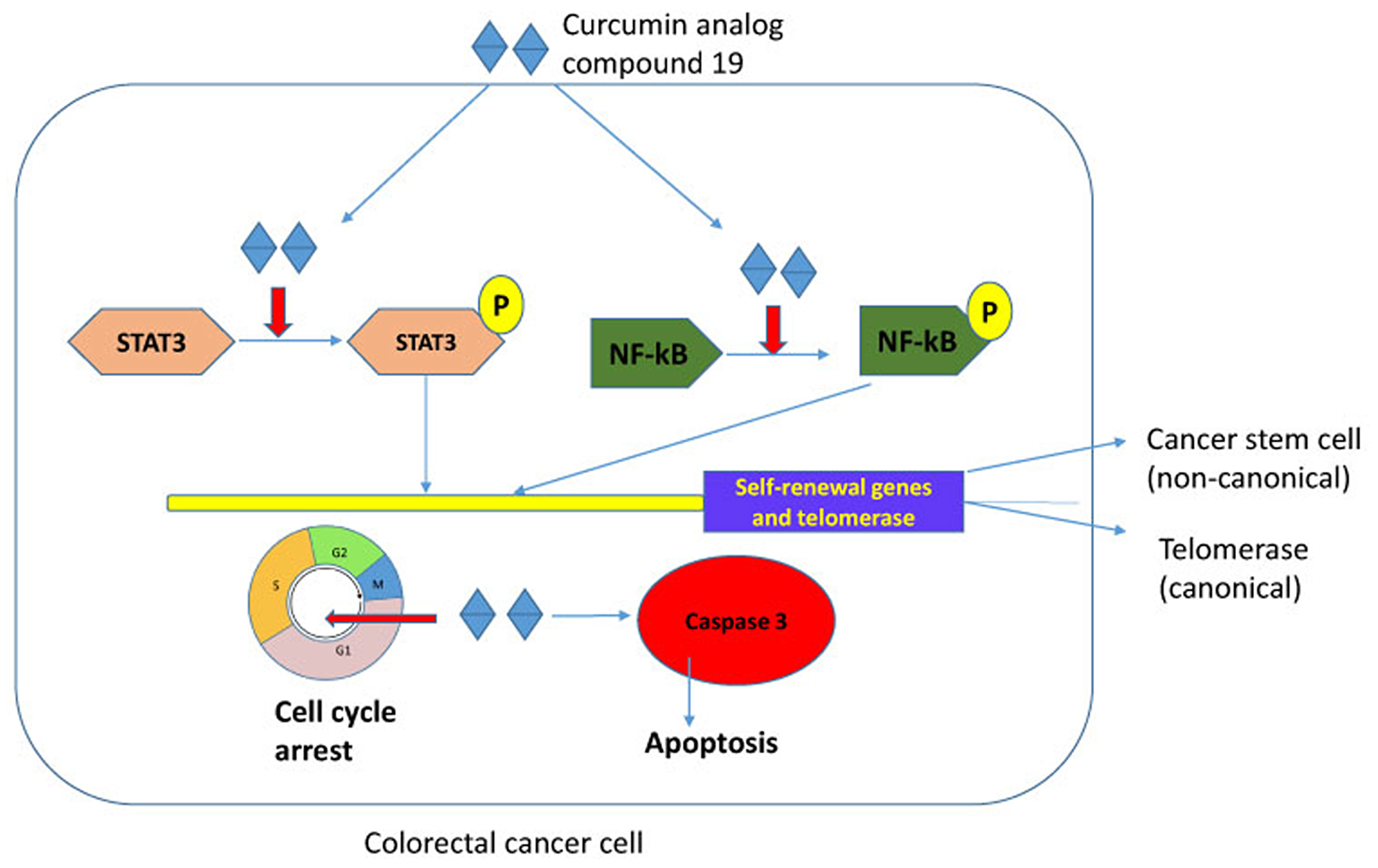 Schematic representation of compound 19 in colorectal cancer cells.