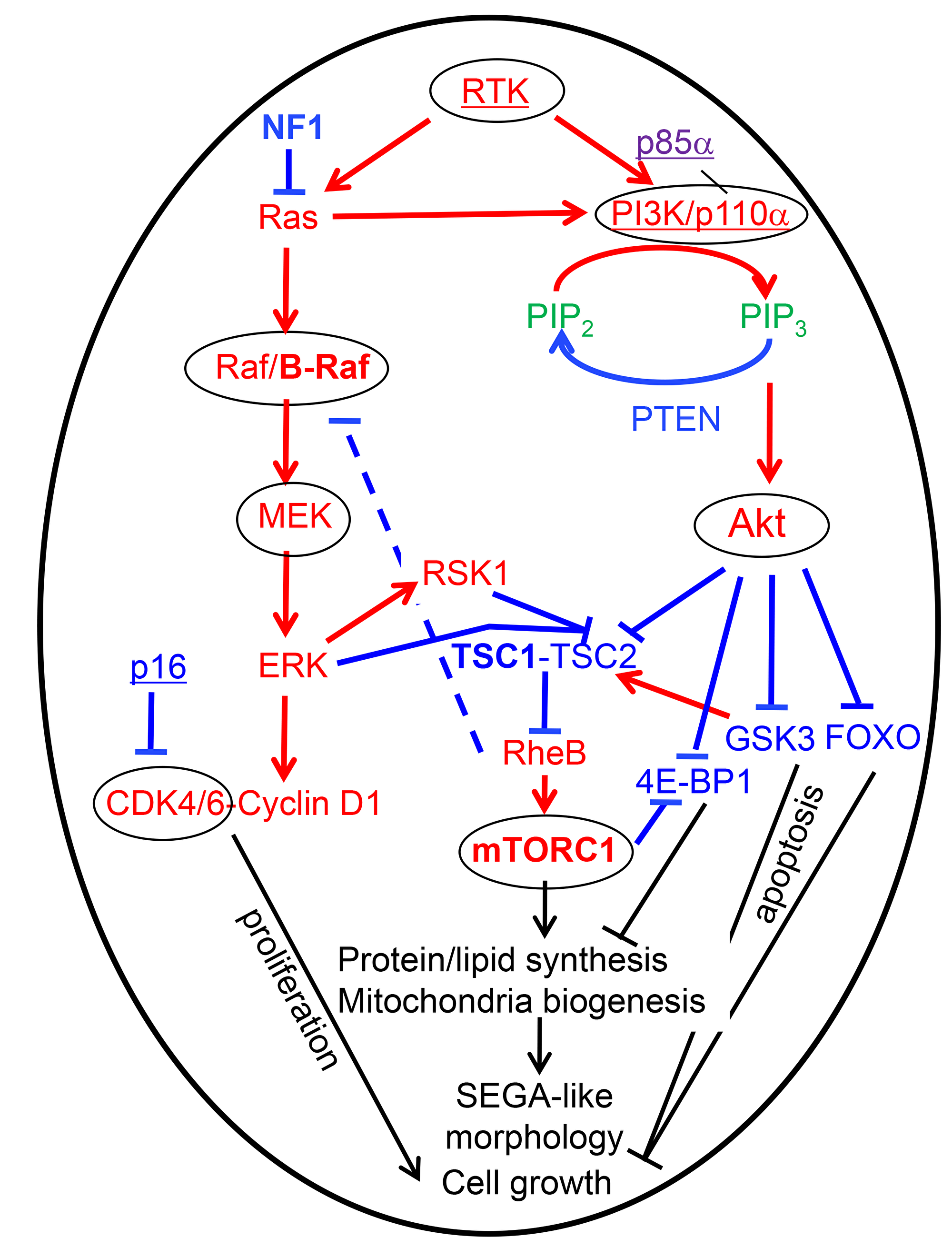 Therapy-oriented mTORC1 signaling model in epithelioid/SEGA-like glioblastoma has been compiled from various sources [3, 9, 25, 46].