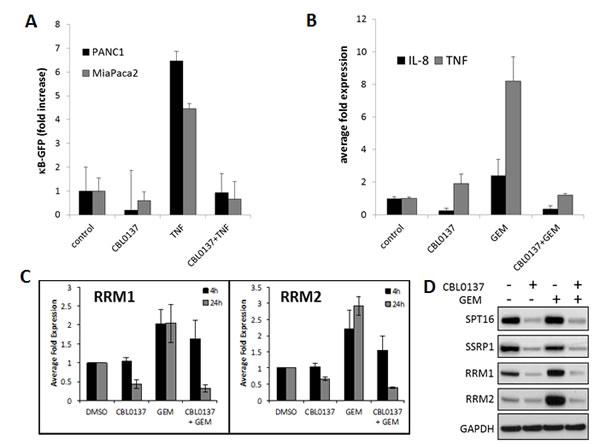 CBL0137 inhibit gemcitabine induced transcriptional responses.