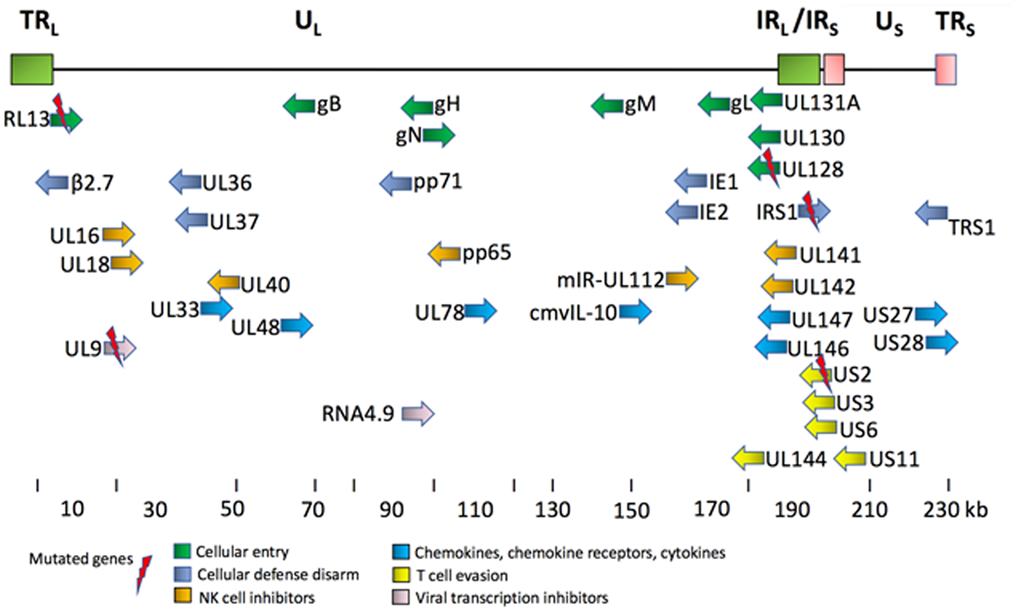 Key proteins encoded by HCMV genome [8, 119].