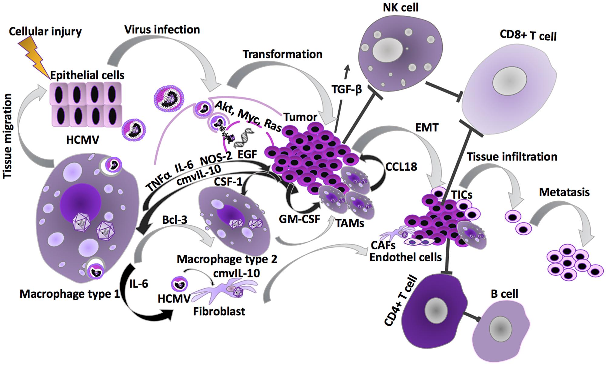 HCMV effects during carcinogenesis.