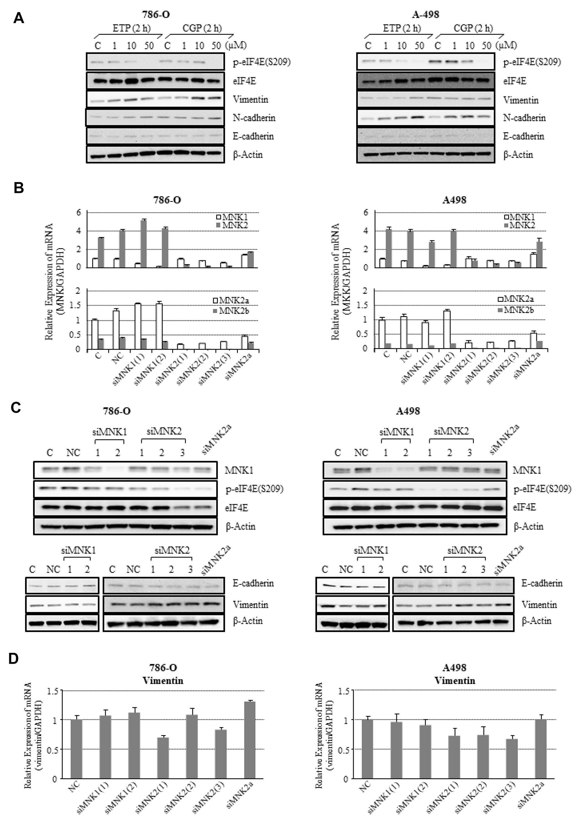 Effects of MNK inhibition on MNK/eIF4E signaling and expression of EMT markers in 786-O and A498 cells.