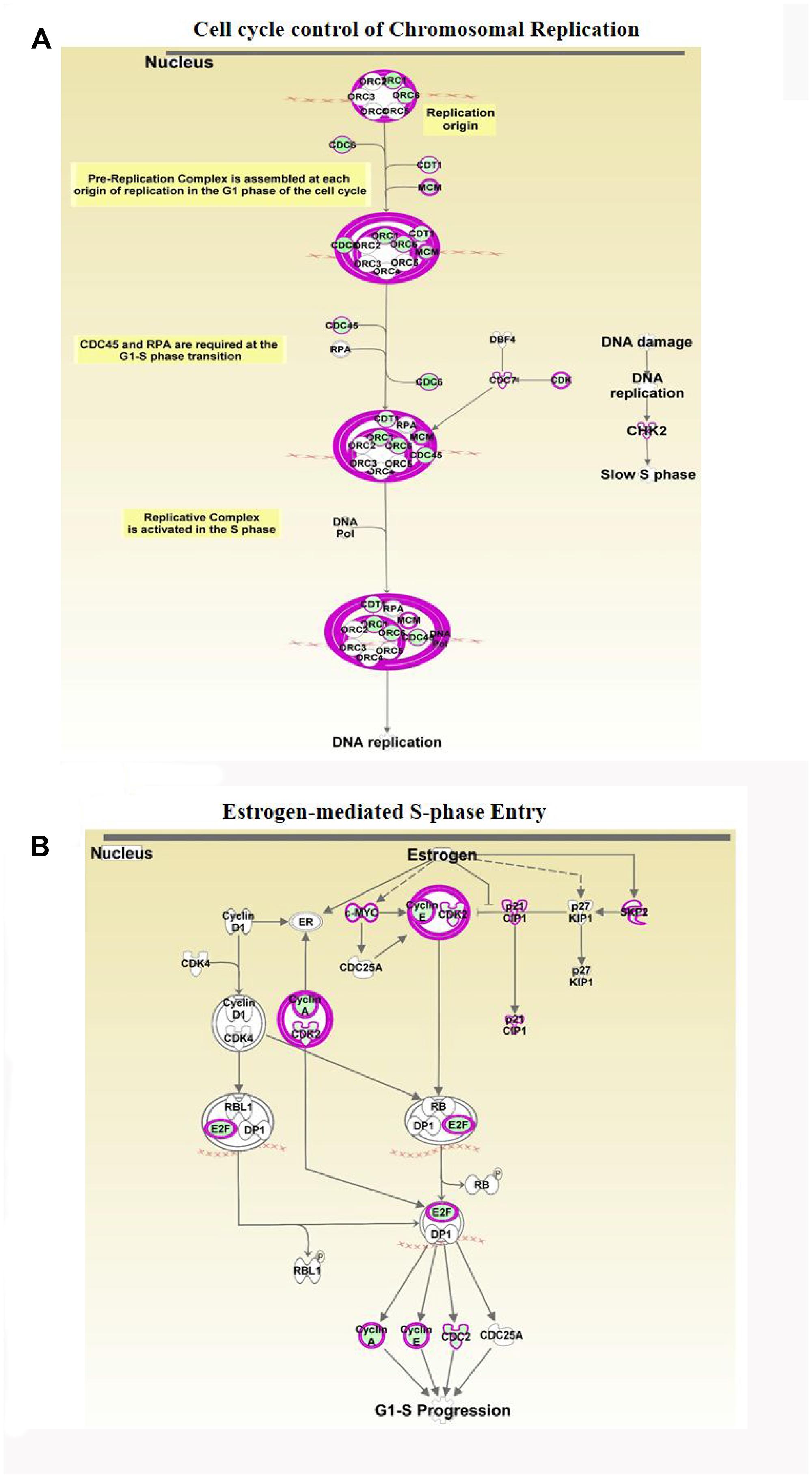 Analyses of ERG-associated cellular pathways.