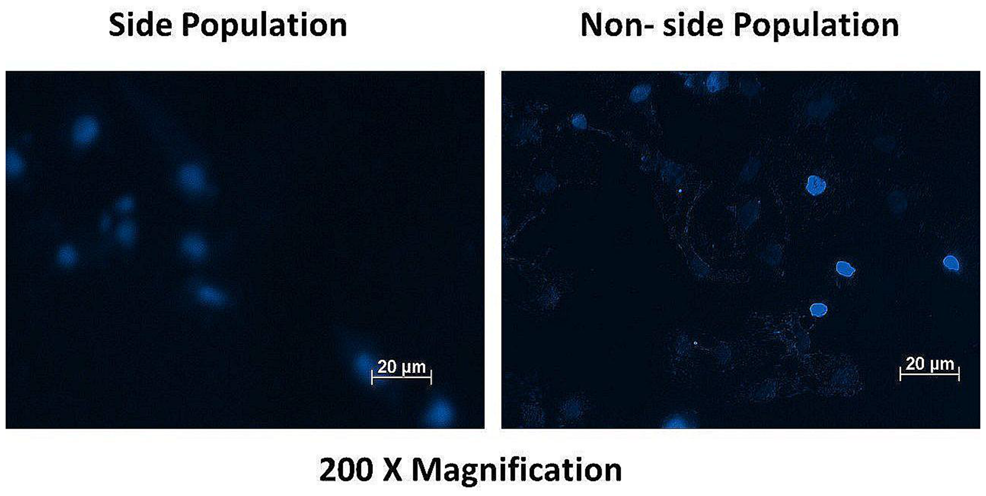 Fluorescence microscopy of the side and non-side population after staining with the dye Hoechst 33342 showing high fluorescence intensity (+++) in the non-side population of cells and a low fluorescence intensity (+) in the side population cells.