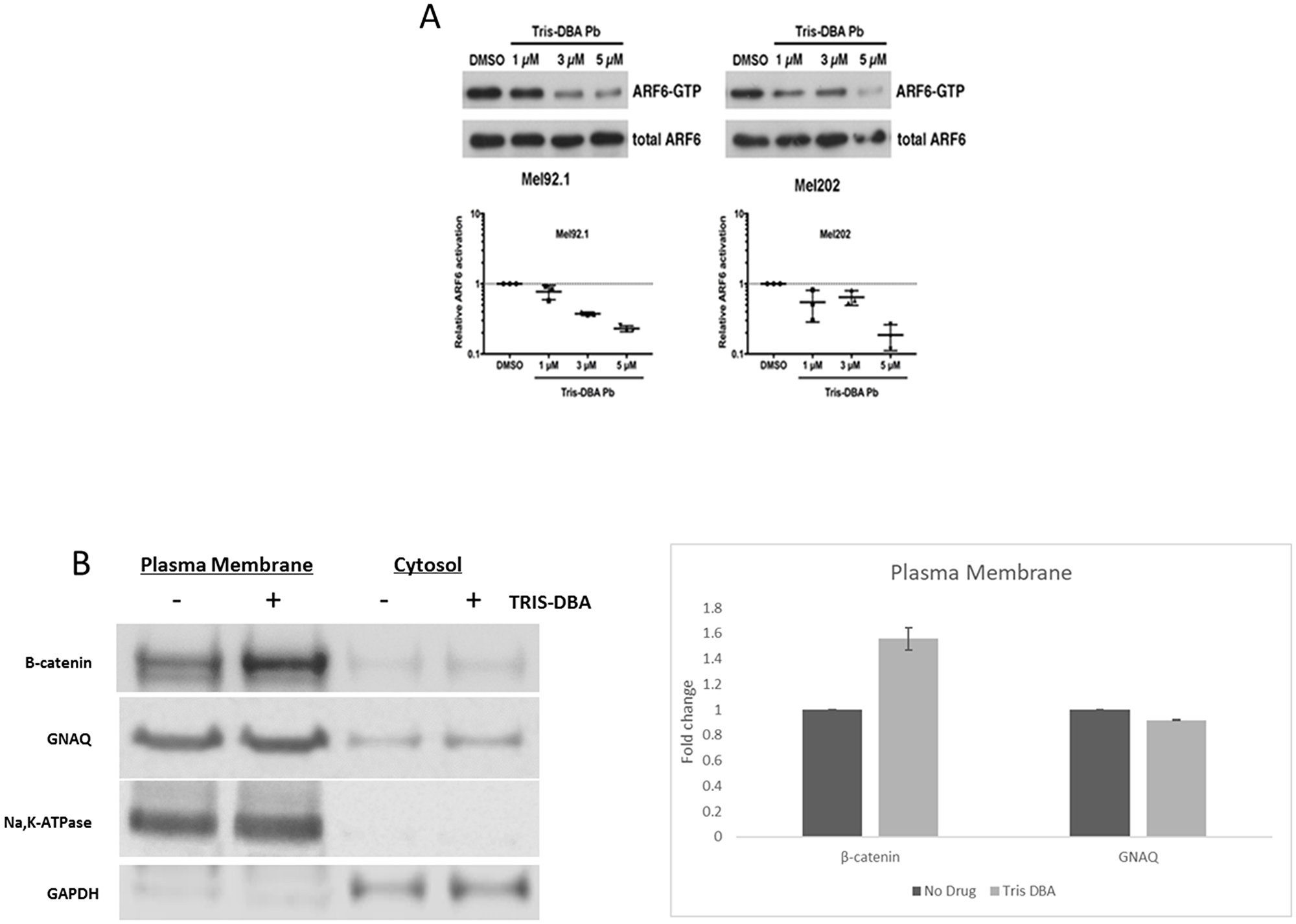 Tris DBA inhibits ARF6 activity and localizes B-catenin to plasma membrane.