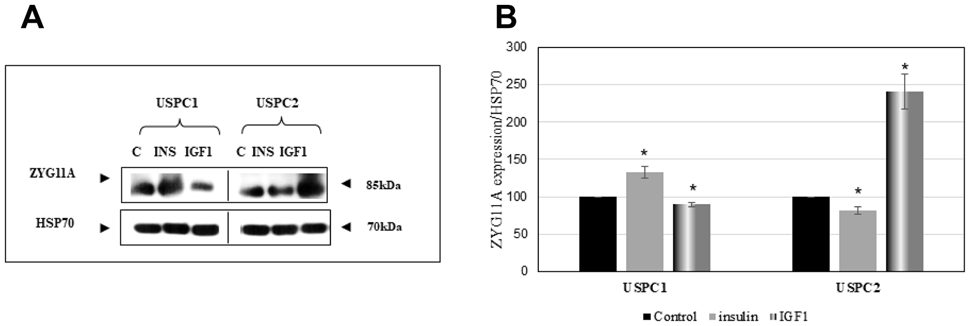 Regulation of ZYG11A protein levels by IGF1.