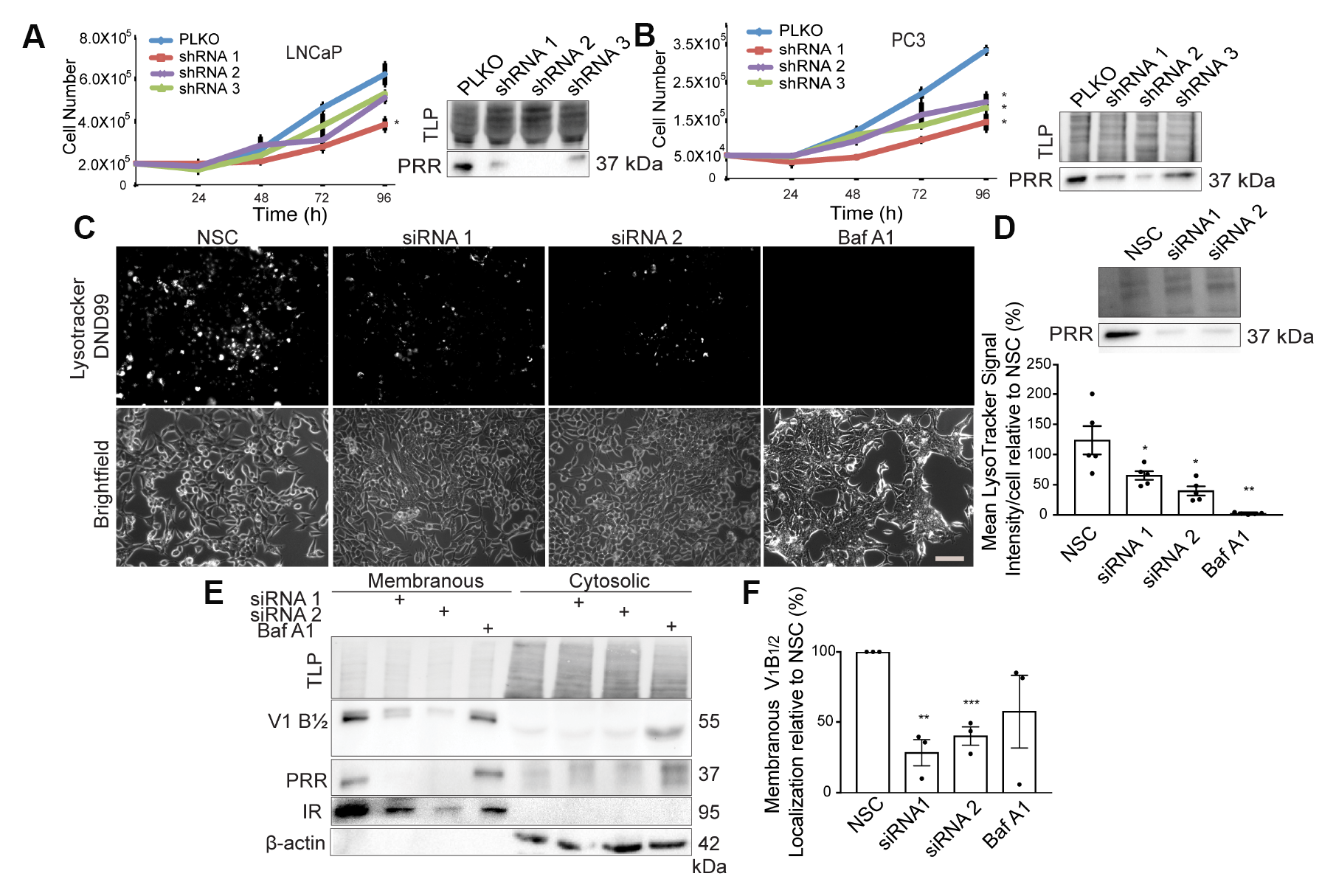 Downregulation of PRR results in a decrease in cell growth and V-ATPase activity.