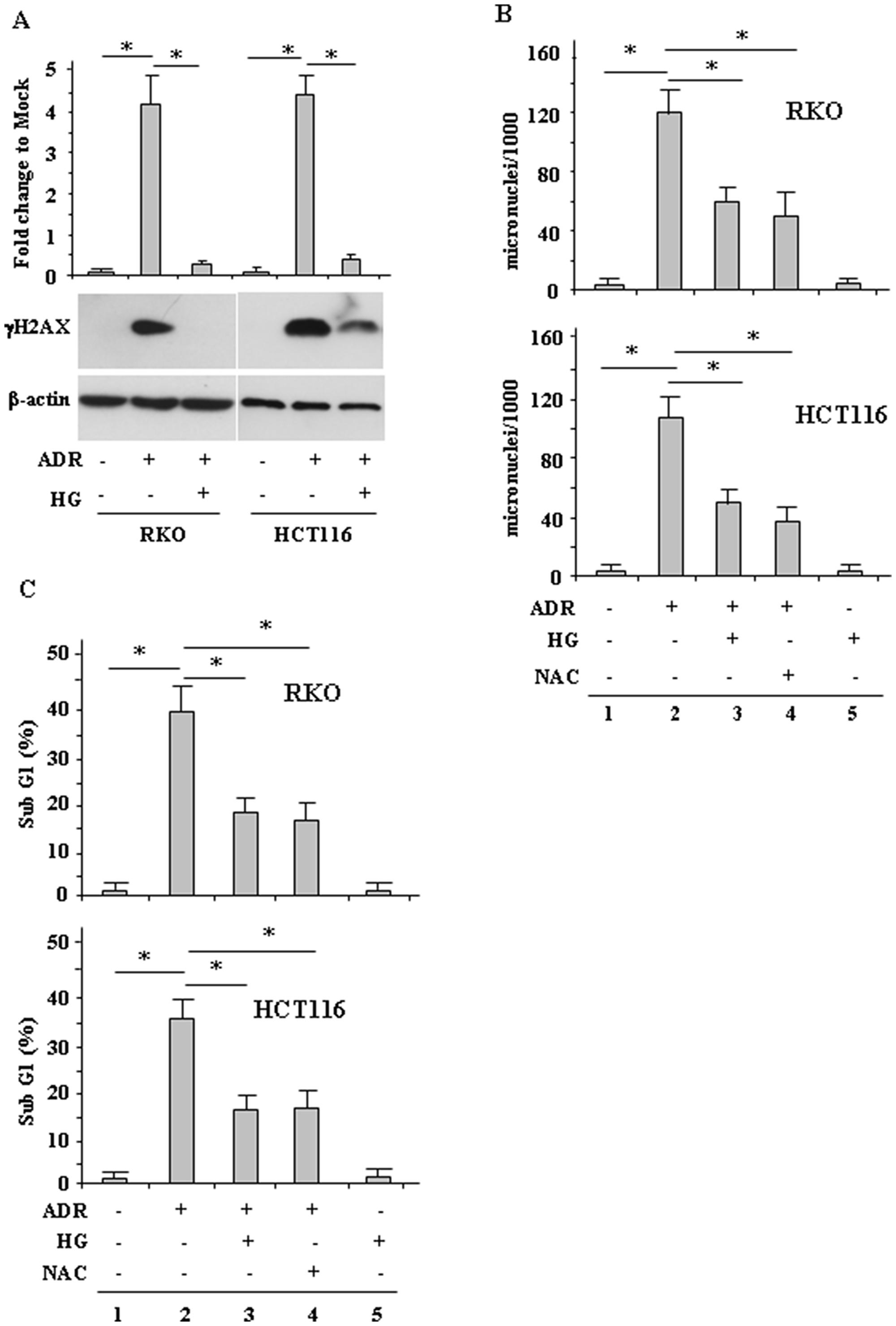 HG reduces ADR-induced DNA damage.