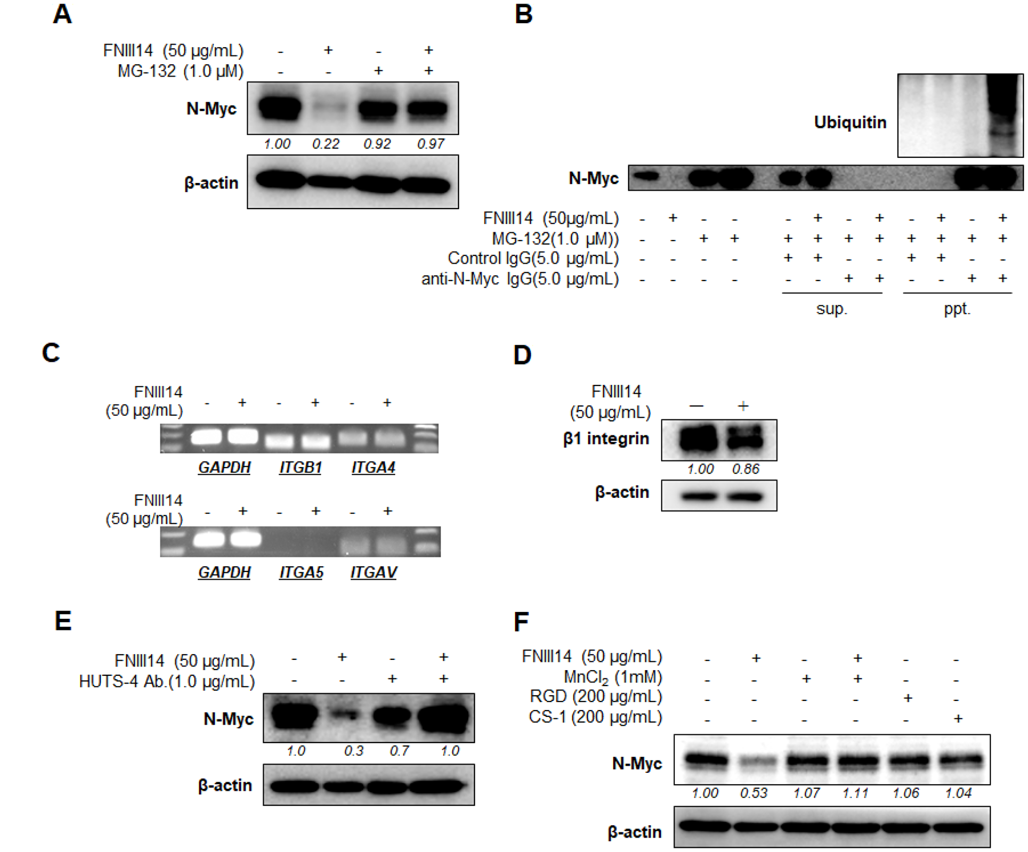 FNIII14 induces proteasomal degradation of N-Myc protein through inactivation of β1-integrins.
