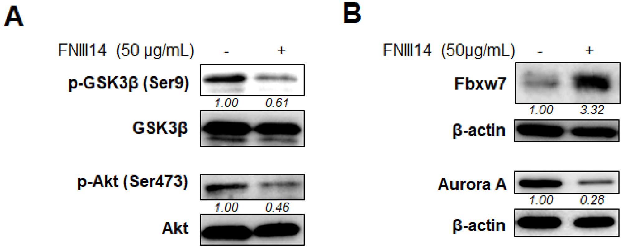 Molecular basis of proteasomal degradation of N-Myc protein induced by FNIII14.