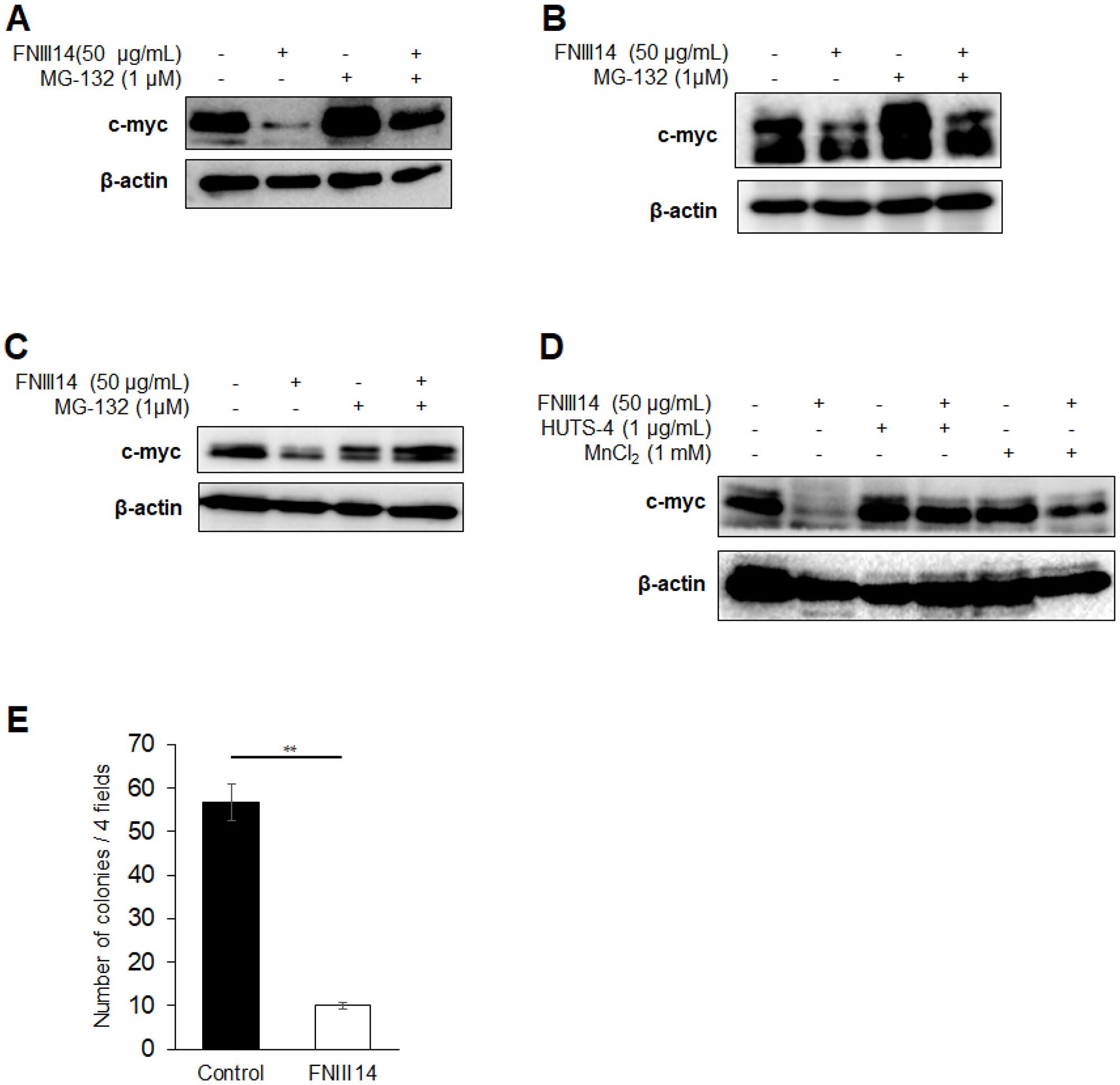 FNIII14 is able to induce degradation of c-myc as well as N-Myc.