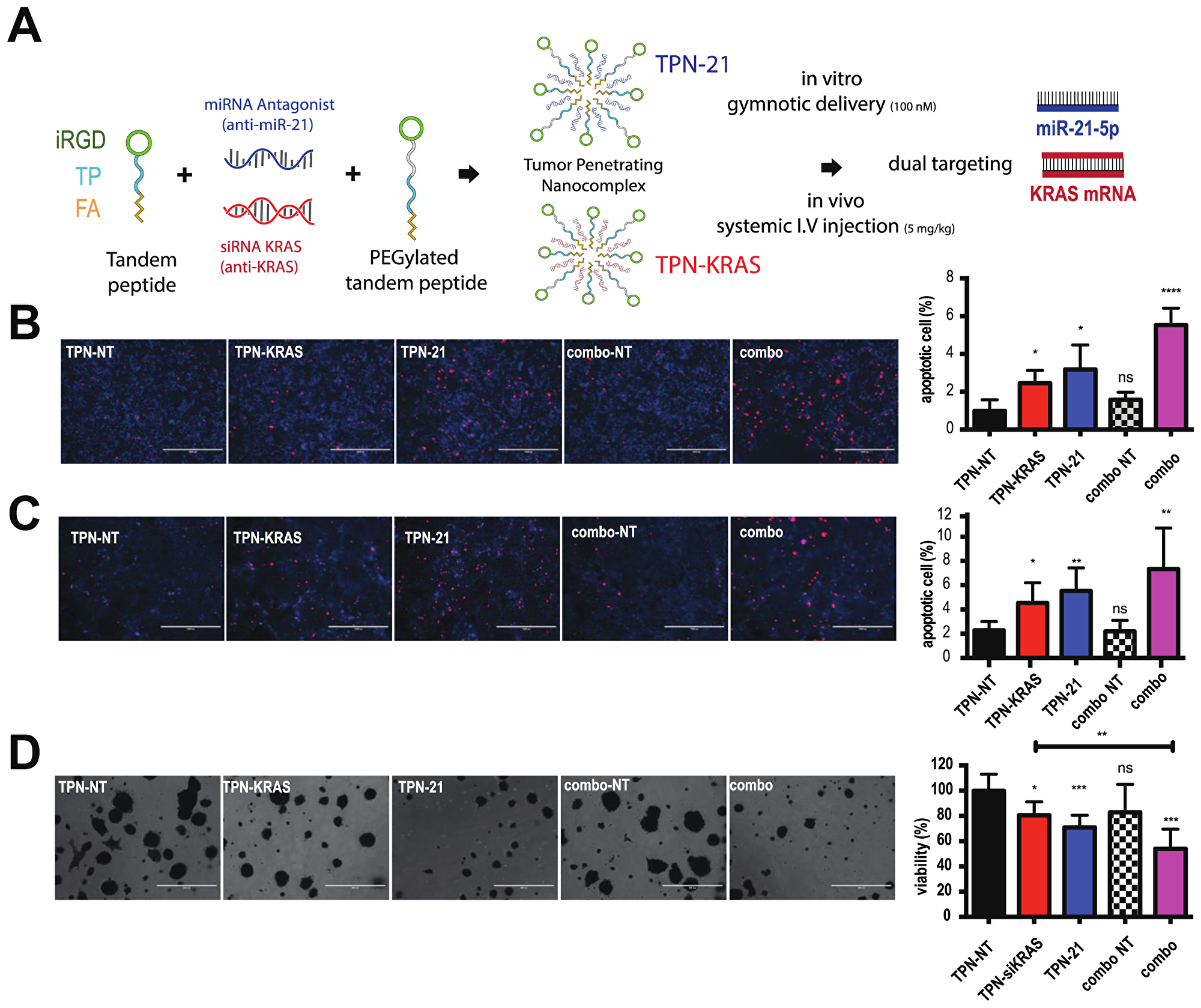 Combining antimiR-21 and si-KRAS increases apoptosis and enhances the anti-proliferative effect in PDAC cells and organoids.