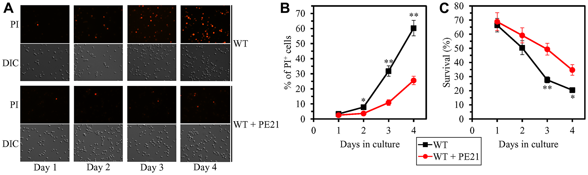 PE21 delays an age-related onset of necrotic death in yeast cells, decelerates the progression of the necrotic cell death process, and makes yeast less susceptible to a liponecrotic mode of regulated cell death (RCD).