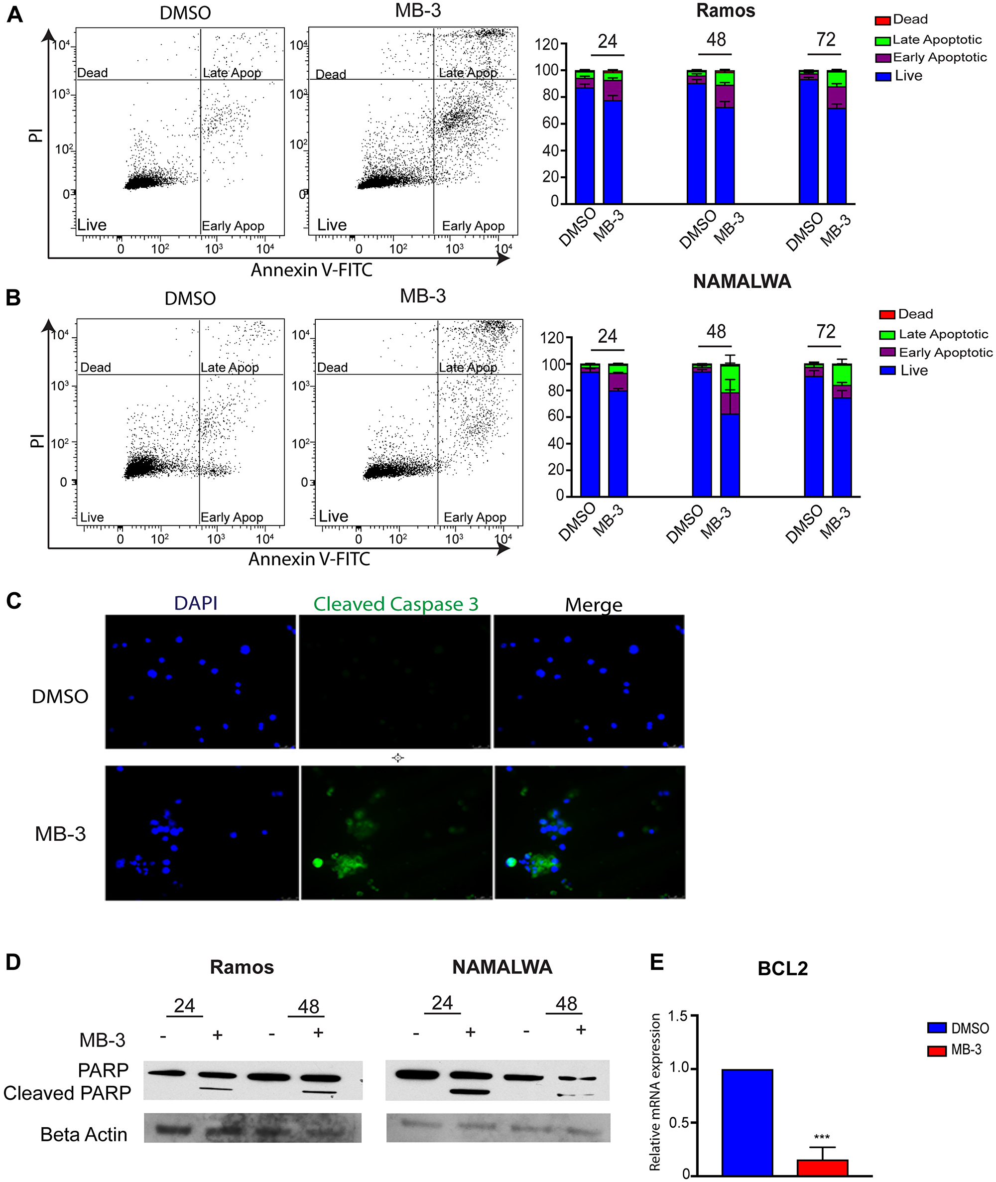 GCN5 inhibition induces apoptosis in human Burkitt lymphoma cell lines.
