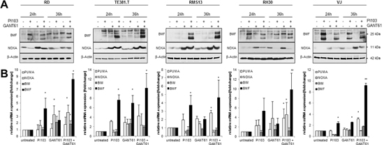 GANT61/PI103 cotreatment increases NOXA and BMF expression.