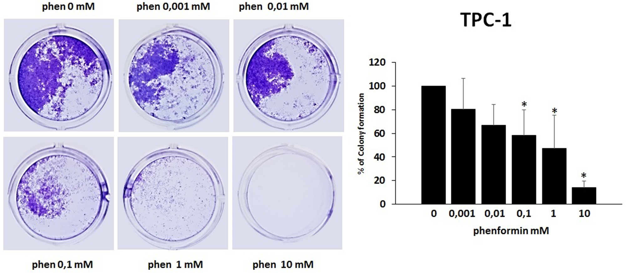 Effects of phenformin on TPC-1 cells ability to form colonies Colony formation assay was used to determine the long-term effects of phenformin on cell proliferation.