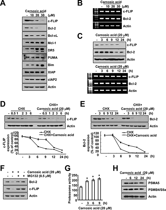 Casnosic acid induced down-regulation of c-FLIP and Bcl-2 expression at the post-translational levels.