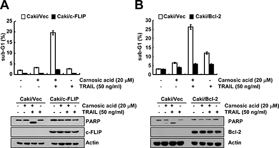 The down-regulation of c-FLIP and Bcl-2 by carnosic acid is associated with the induction of TRAIL-mediated apoptosis.