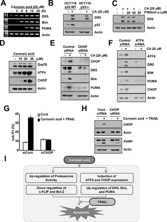 Carnosic acid induced ATF4 and CHOP-mediated DR5, Bim, and PUMA expression.