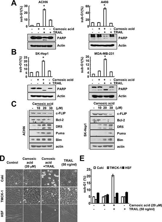 The effects of combined treatment with carnosic acid and TRAIL on apoptosis in other carcinoma and normal cells.