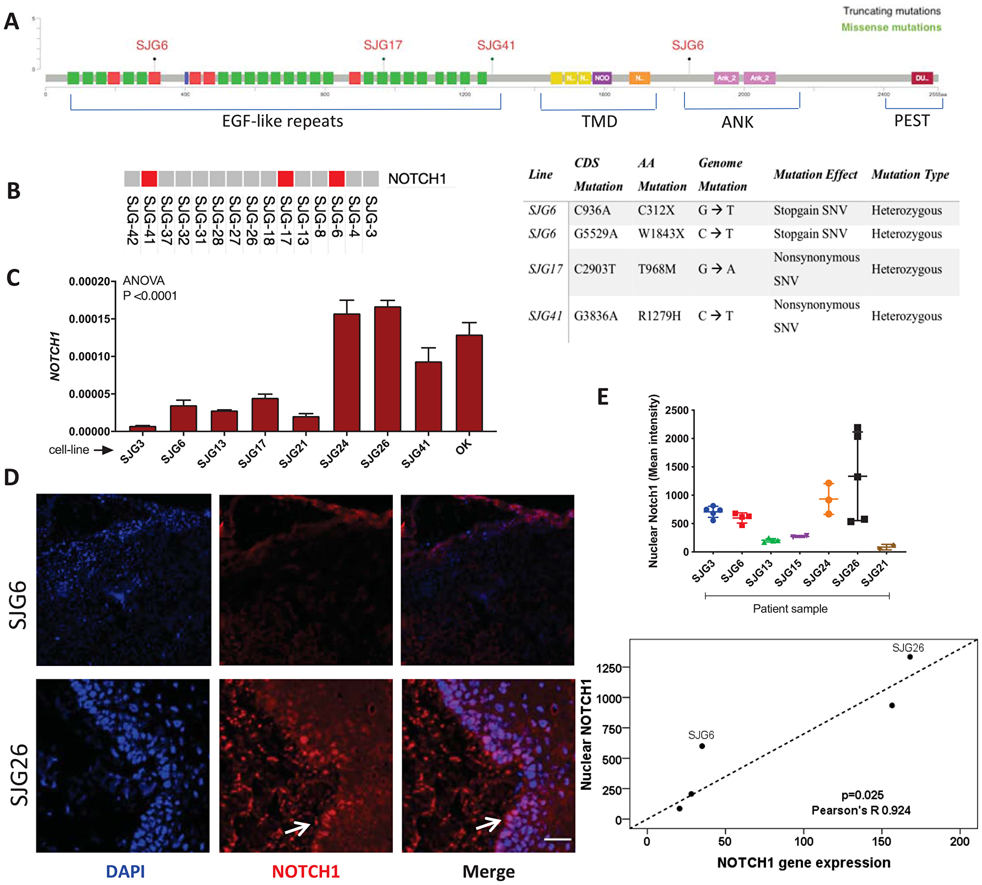 NOTCH1 expression in OSCC cell lines and parental tumours.