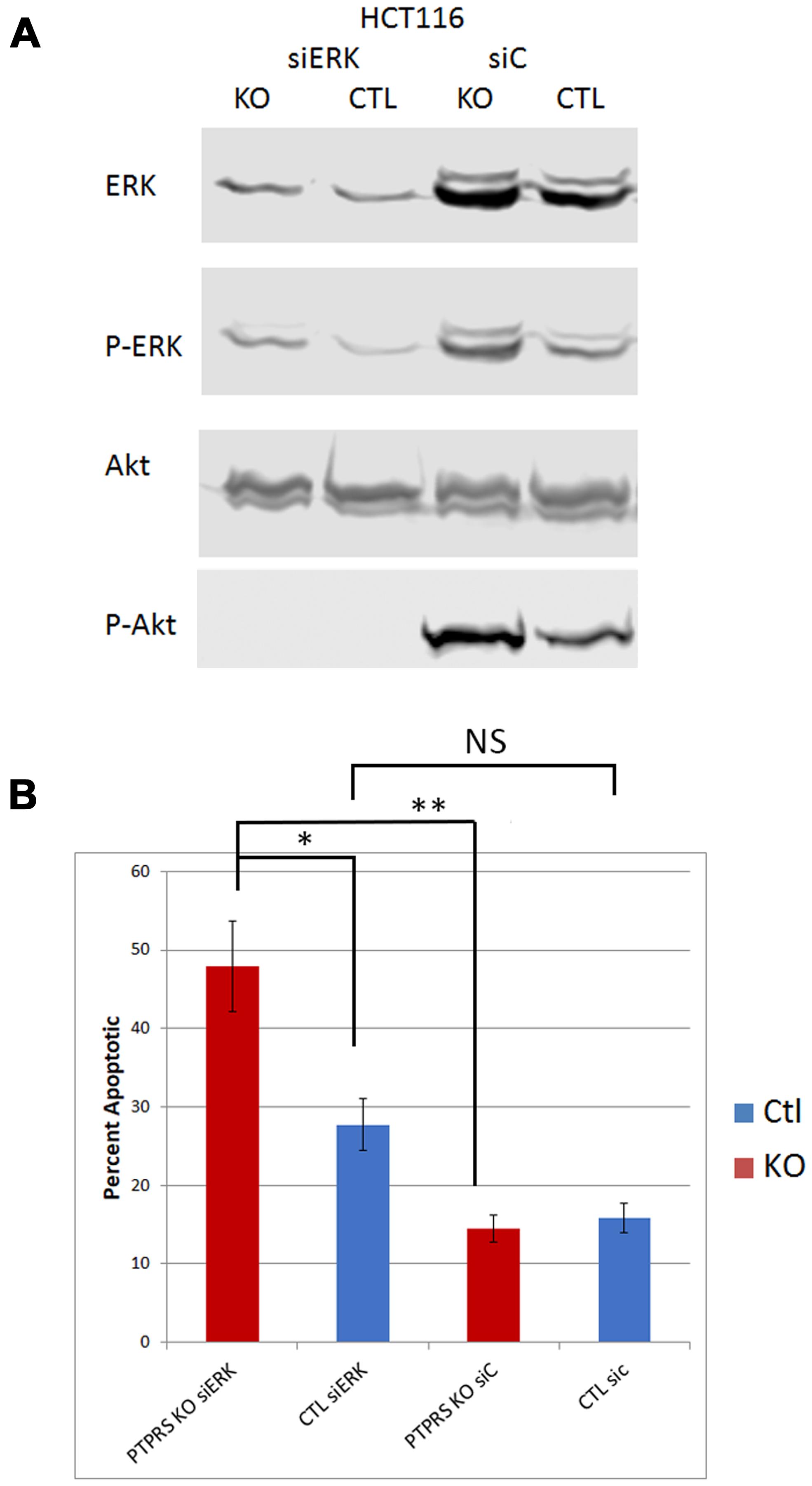 siRNA knockdown of ERK reduced phospho-AKT-S473.