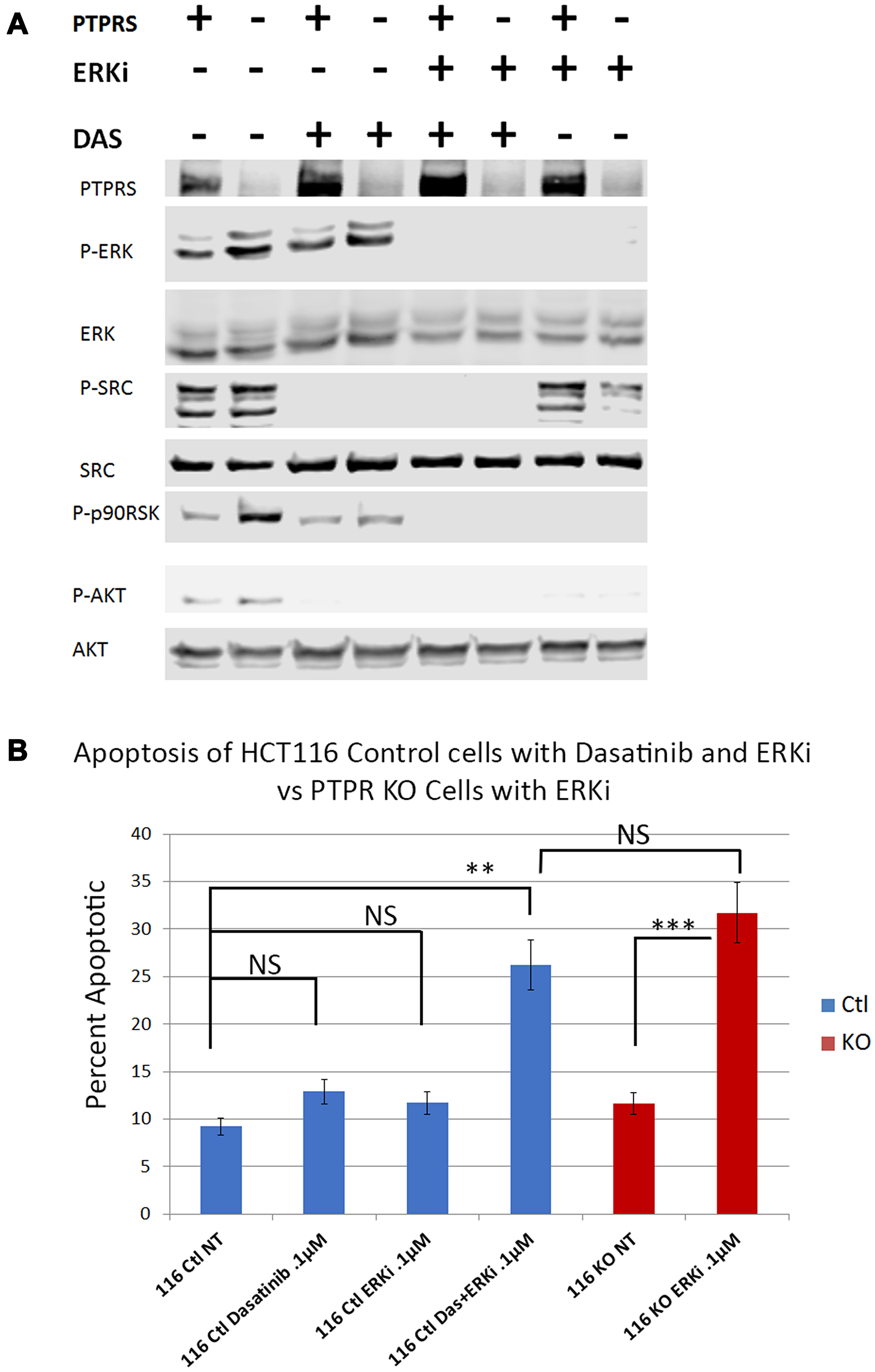 Dasatinib treatments increased apoptotic response to ERK inhibition in HCT116 cells.