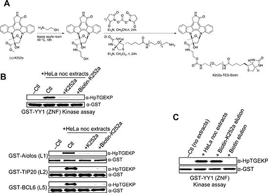 Biotinylated K252a maintains linker kinase inhibitory activity.
