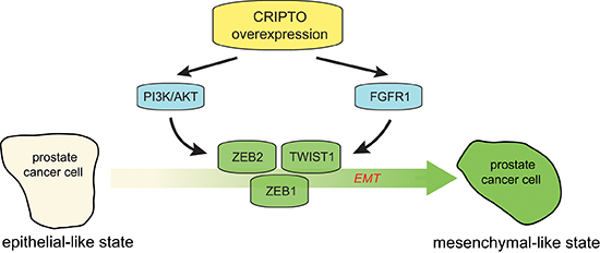 Working model of the regulatory role of CRIPTO in regulating epithelial-mesenchymal transition in human prostate cancer cells.